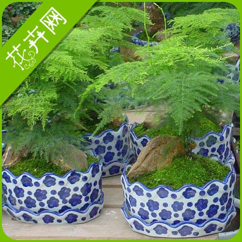 1 Pack 6 Seeds Green Herb Plant Setose Asparagus Seeds(China (Mainland))