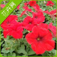 Red petunia seeds flower big 60 seeds seeds