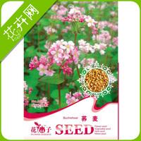 Buckwheat seeds edible 30 seeds 29 of medicinal seeds