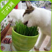 1 Pack 200 Seeds Cat Grass Seeds