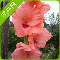Seeds gladiolus flower seeds 1 spring and summer