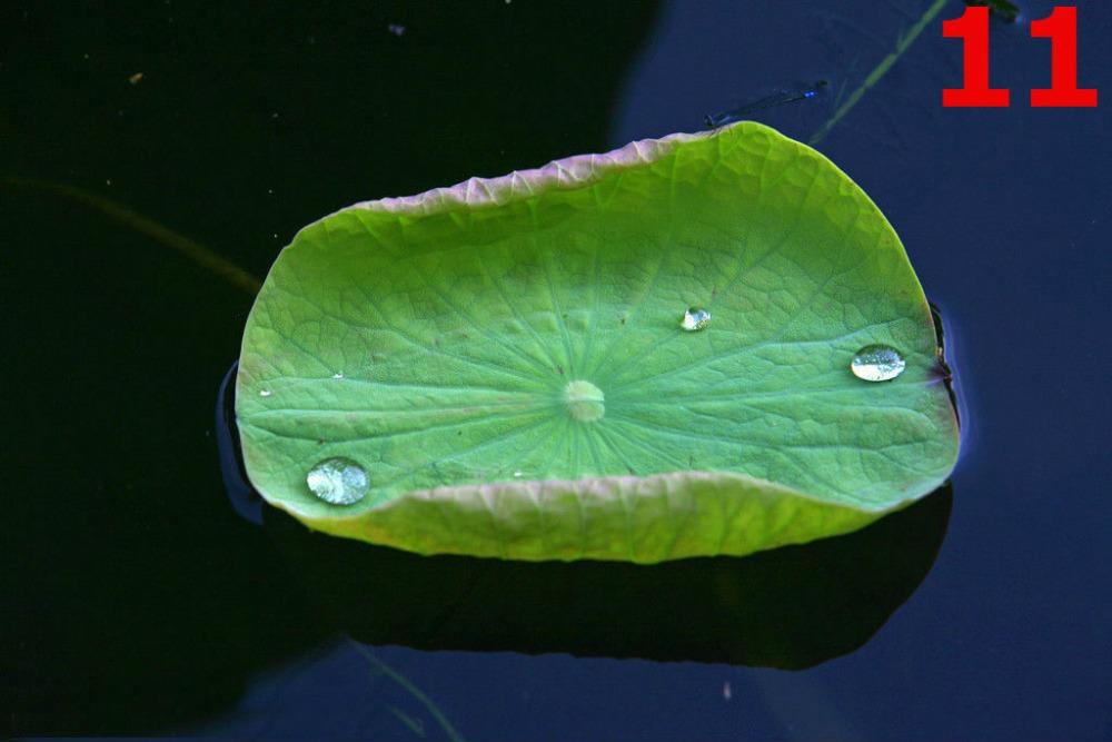 Free shipping Lotus leaf Slimming tea Beauty Healthcare tea Invalid A full refund Green Tea Food