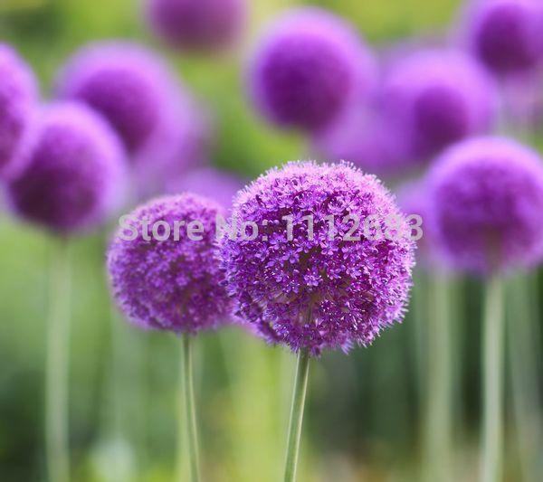 Oignon graines de fleurs exotiques, graines, 60 jardin décoratif, embellir la cour, propres à la décoration végétale livraison gratuite