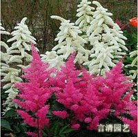 50 Seeds / lot, flower seeds Mix Astilbe Chinensis Pumila Flowers Perennial Plants DIY home and garden