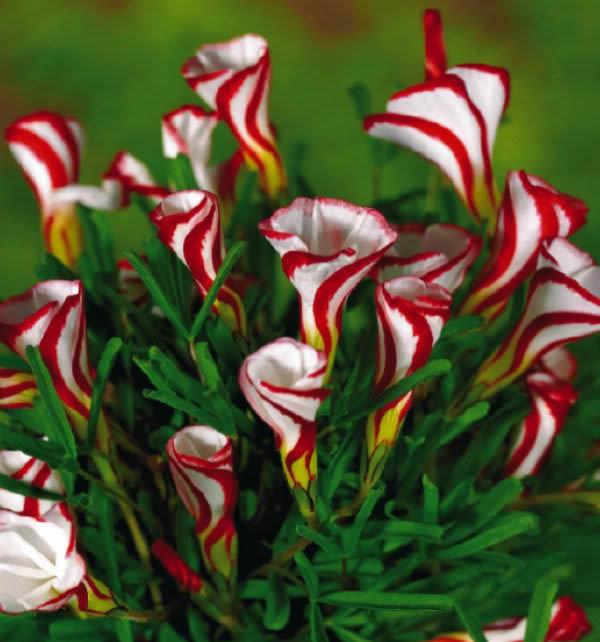 Цветы для сада домой посадки о лишай