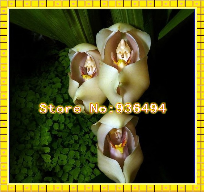 Lovely flowers, New Zealand Baby orchid seeds,100PC Bonsai Flower Seeds  And interesting plants(China (Mainland))