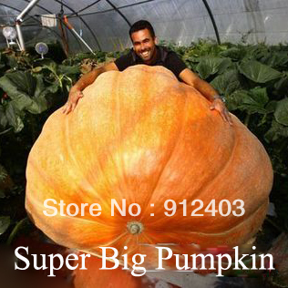 Super Big Pumpkin seeds, 1 pack about 5 pieces factory original package, Happy Farm !(China (Mainland))