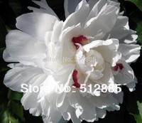white  colors Peony seeds. Chinese Peony Seeds, hope you will like !