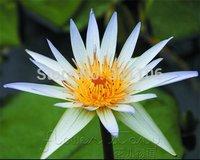 20White Goddess Of Mercy Lotus Flower Gorgeous Lotus Aquatic ,Label: Lotus9 Free Shipping