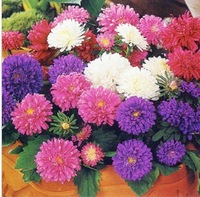 1 pack Callistephus nchinensis Chrysanthemum seed in stock