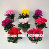 Flower  Cyclamen seeds Selectable color 50 pcs