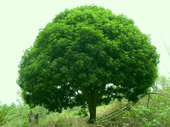 Camphor Tree Seeds High Quality Tree Seed 100Pieces/pack   Free Shipping