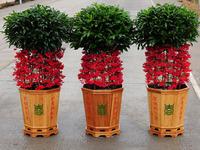 Free shipping hot sale flower seeds,rich seeds landscape fruit Indoor plant bonsai flower