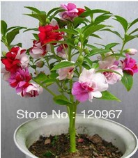 100pcs * Hot selling Colorful Impatiens Balsamina flower seeds nail grass seeds for DIY home garden *Free shipping