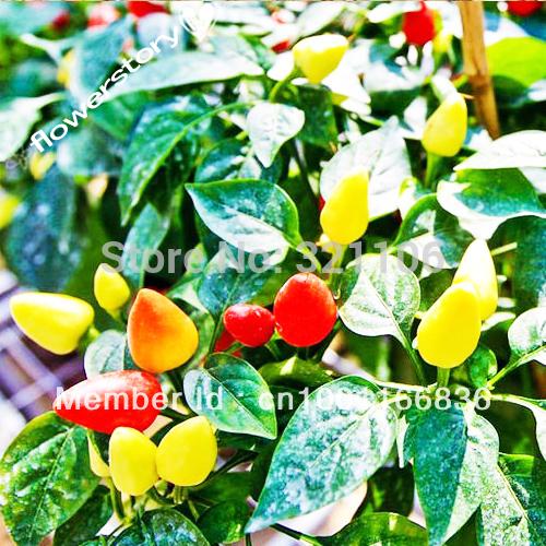 Organic Rainbow Bell Pepper 50 Seeds, 240mg Free Shipping(China (Mainland))