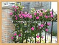 400 Seeds Pink Climbing  Rose , Rattan Warriors , Angela , China Rose