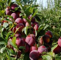 2 Professional  Packs, 10 Seeds/Pack, Delicious Round Plums Fruit Tree Seeds + Good Quality + Mysterious Gift