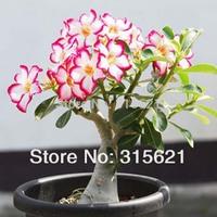Desert Rose Seeds Adenium obesum  Flower Seeds 20 PCS Free Shipping