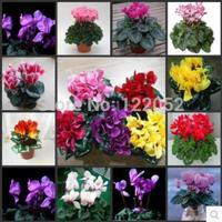 Sowbread, place flowers, cyclamen seeds, multicolor optional.10pcs