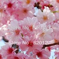 100 Seeds pink colour cherry blossom Japanese Sakura Cloud Oriental Sweet Prunus Serrulata Seeds