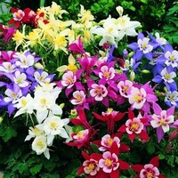 Mix order $5 Free Shipping Columbine Flower HOT Great SEEDS A113 DIY Home and Garden with mystorious gift