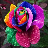 500 NEW RAINBOW ROSE FLOWER SEEDS ONLY $5.99 OWNER JUST WANTED TO WIN GOOD REPUTATION * MULTI-COLOR RAINBOW ROSE * FREE SHIPPING