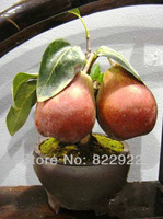3 BONSAI APPLE-PEAR HYBRID TREE SEEDS *RARE* FRAGRANT, SWEET&CRISP HOME GARDEN BACKYARD NEW GENERATION FREE SHIPPING