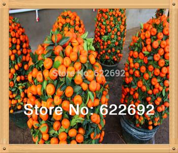 50 Pcs Mini Potted Edible Fruit Seeds Bonsai Orange Seeds China (Quanzhou) Climbing Orange Tree Seeds Climbing Plants +Gift