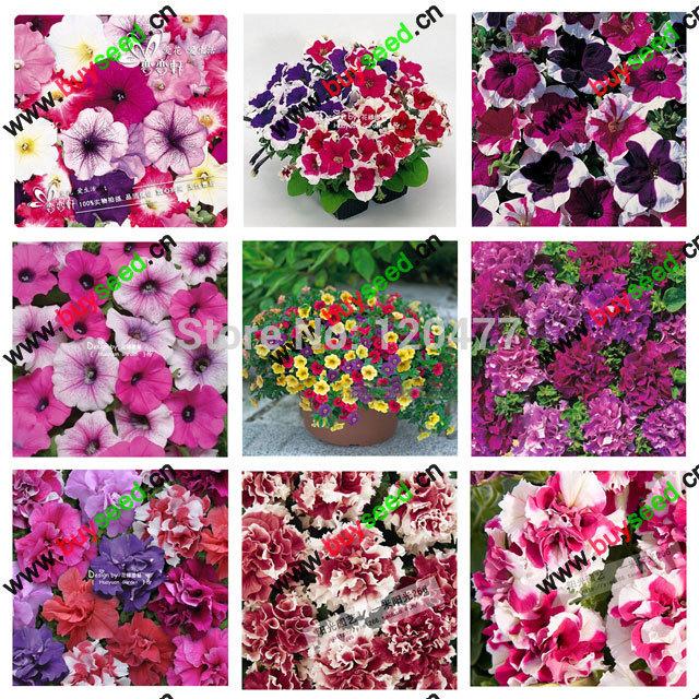 free shipping Morning glory seeds petulantly seeds balcony bonsai flower petunia set -200 pcs(China (Mainland))