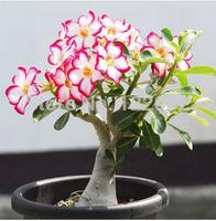 200 pcs/bag rainbow desert rose seeds,Flower pots planters Adenium obesum seeds,Mixed shipment