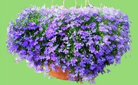 Mix order $5 Beautiful Blue Lobelia Flower Seeds Hang down flowers balcony special view flower DIY Home and Garden free shipping