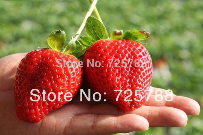 Super grande fragole semi, semi di fiori, giardino di fornitura, profumo bonsai, ghd, Casa& Giardino, home decor