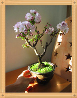 Mini Potted , 25 Pcs Bonsai Japanese Sakura Seeds , Beautiful Pink Flower Seeds