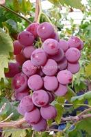 Giant Pink Grapes Rare 200 Seeds, Fruit Seeds Giant Grape/lot Rare species bonsai Fruit Seeds Free Shipping 2013 New high