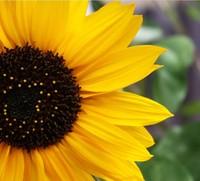 40pcs/lot SUNFLOWER SEEDS FLOWER SEED POT FLOWER PLANT GARDEN BONSAI FLOWER SEED DIY HOME PLANT